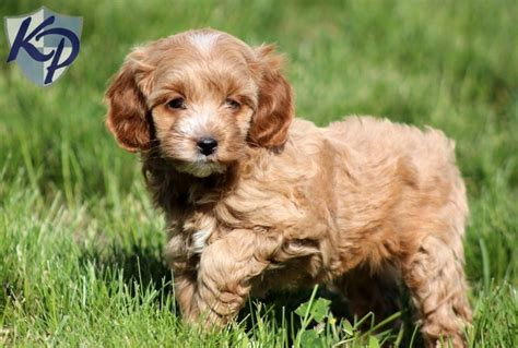 keystone puppies 1000 images about mini poodle puppies on valentines poodles and miniature