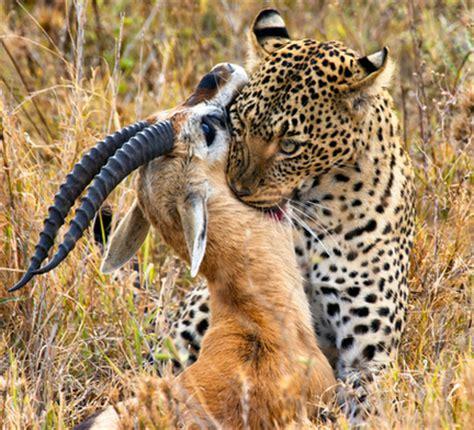 jaguar huntington interactions humans and other species explore jaguars