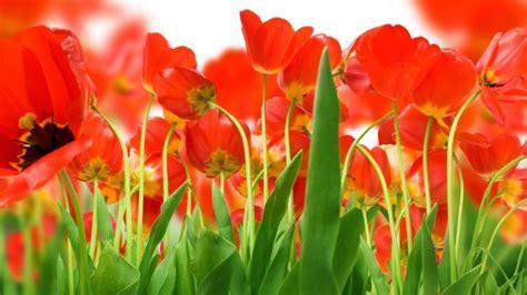Bibit Bunga Tulip 50 wallpaper gambar bunga cantik untuk laptop