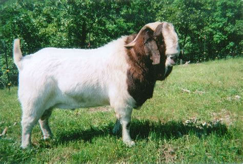 buck for sale in south africa masterpiece boer goat buck goats boer goats goats and goat picture