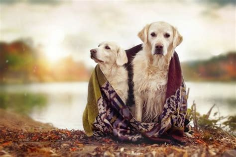 golden retriever photography golden retriever mali and his best friends photography by gabi stickler ego
