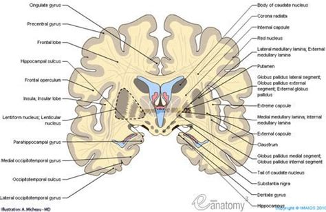 anatomical quot slice quot diagram of the brain images frompo