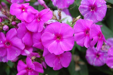 Phlox Paniculata Landscape Architect S Pages Purple Flowers For Garden