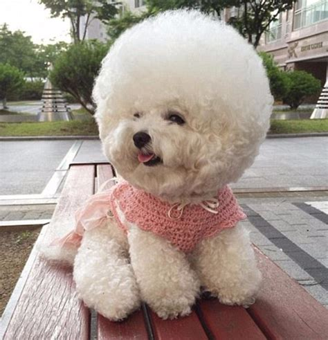 curly haired dog haircuts tori the bichon frise shares the secret to her spherical
