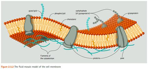 cell membrane model bing images biology cell