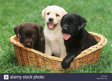 labrador puppies indiana three labrador puppies in basket blond brown black stock photo royalty free image
