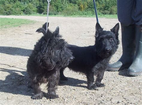 scottish terrier puppies for sale pair of scottish terriers for sale dartford kent pets4homes