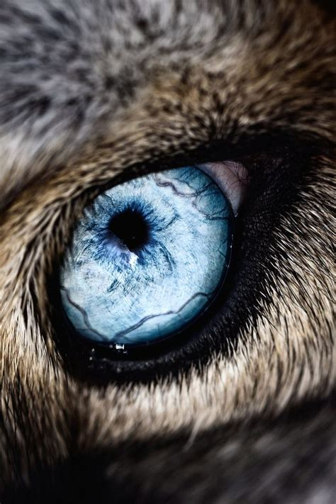 wolf eyes tattoo 25 best ideas about wolf on a wolf blue