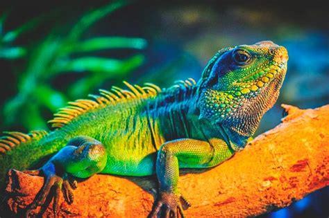 imagenes de iguanas rojas 191 qu 233 comen las iguanas