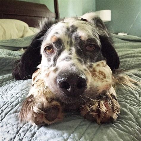 english setter dog 101 17 best images about english setter on pinterest english