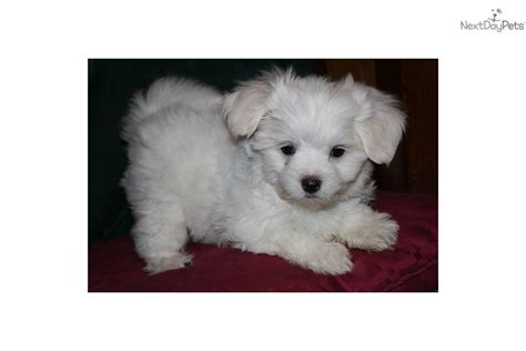 maltese puppies for sale in nh meet a maltese puppy for sale for 750 maltese in nh visa or mc