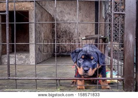 rottweiler cage size rottweiler puppy sad his cage image photo bigstock