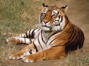 imagenes de tigres de bengala tigres de bengala auto design tech
