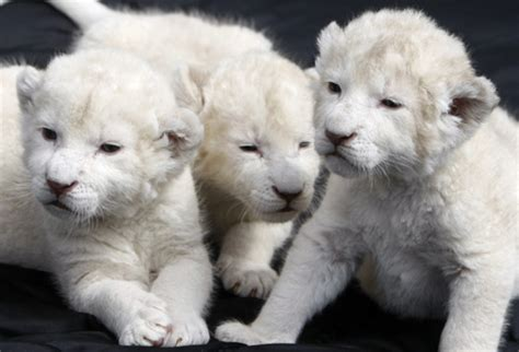 imagenes de leones national geographic week in photos white lions popemobile more