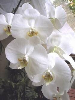 orchidee come farle fiorire phalaenopsis secca domande e risposte piante appartamento