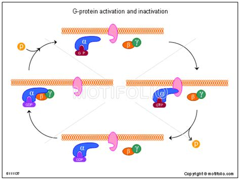 protein activation g protein activation and inactivation illustrations