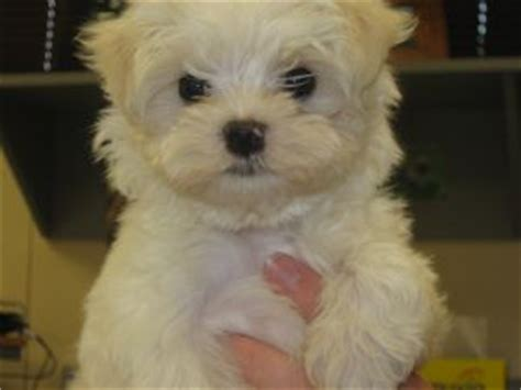 maltese puppies for sale louisiana maltese puppies in louisiana