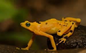 Golden Frog Golden Poison Frog Animal Wildlife