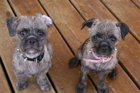pug mixes poodle pug mix allmutt