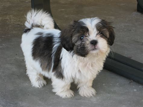 black white shih tzu shih tzu puppies black and white www imgkid the image kid has it