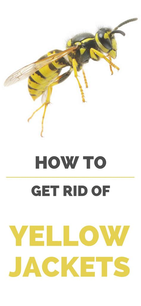8 Tips On Getting Rid Of Yellow Jackets by Best 10 Getting Rid Of Bees Ideas On Wasp