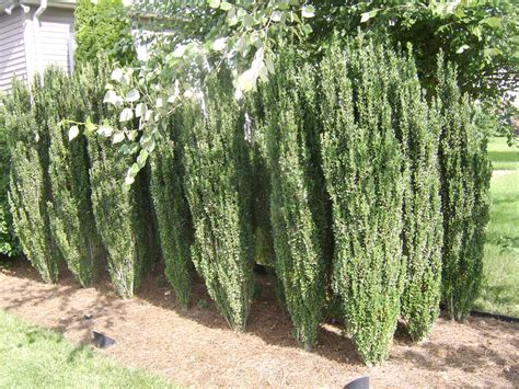 good shrubs for privacy screen