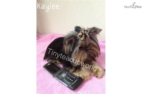 teacup yorkie adults is adventurous and definitely has she breeds picture