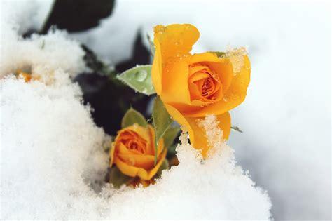 fiori di inverno giardino fiorito d inverno ecco i fiori resistono al