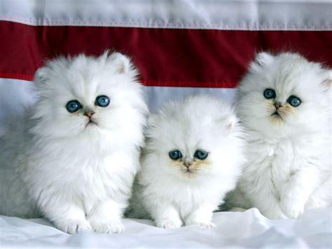 wallpaper persian cat persian cat wallpapers hd download persian himalayan