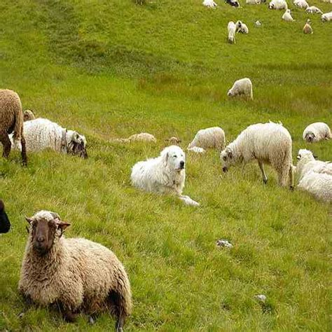 livestock guardian breeds livestock guard dogs for sale breeds picture