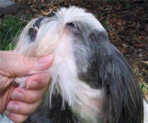 how to give a shih tzu haircut shih tzu haircut shih tzu puppies florida shih tzu