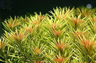 Tanaman Aquascape Ludwigia Sp Pink White 2 comprehensive list of plant profiles page 10 aquarium