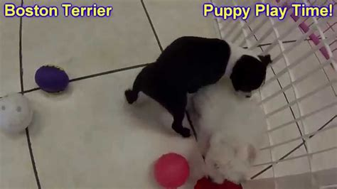 boston terrier puppies for sale in iowa boston terrier puppies for sale in cedar rapids iowa ia west des moines ames