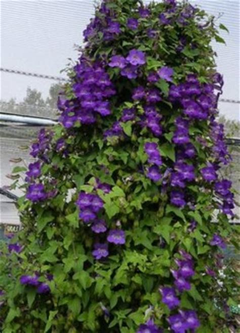 perennial climbing plants with flowers climbing snapdragon asarina scandens violet perennial