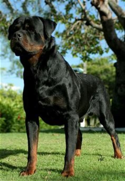 rottweiler with white spot on chest german rottweiler i ve had 2 such magnificent loving obedient regal of poise