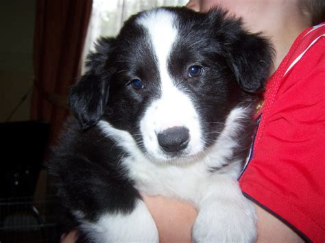 black and white border collie puppy black border collie puppies and white puppy at litle pups