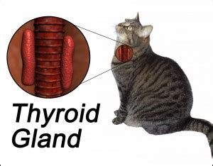 hyperthyroidism in cats symptoms and treatments 171 oregon