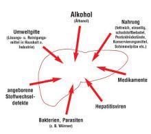 wann erholt sich die leber nach alkohol optimaler leberschutz pflanzlicher schutz aus der natur