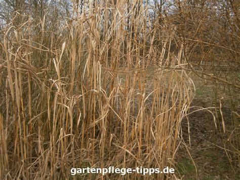 Schilfgras Als Sichtschutz Unterscheidungsmerkmale Schilf Und Bambus