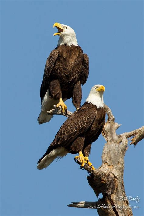 Headed Eagle best 25 bald headed eagle ideas on eagle