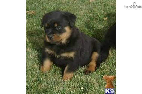 world class rottweilers meet a rottweiler puppy for sale for 1 500 world class rottweiler puppies