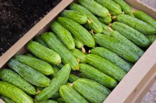 vegetable garden seeds patio pickles cucumber allen