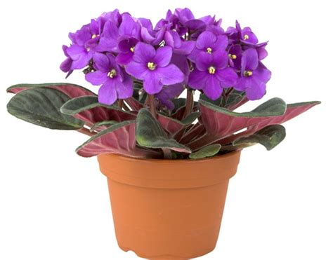 jual tanaman light purple african violet bibitbungacom