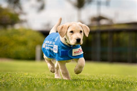 how do they seeing eye dogs seeing eye images images