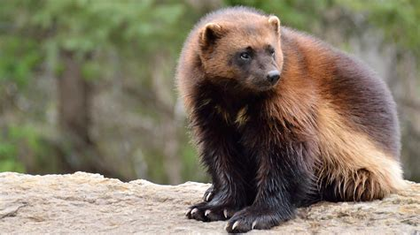 imagenes del animal wolverine wolverine ghost of the northern forest five things we