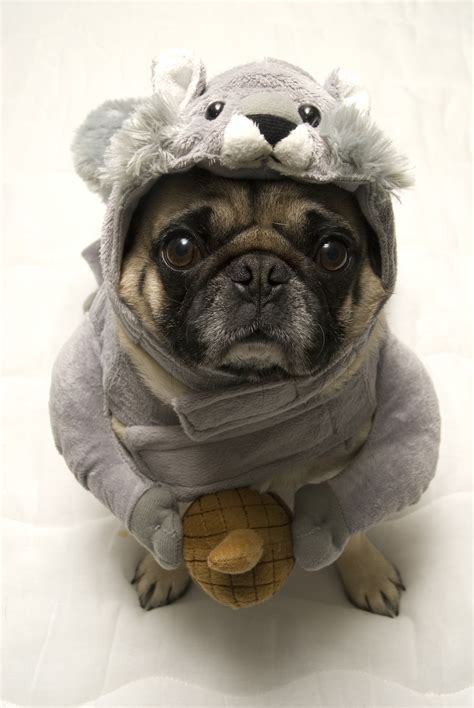 pugs are the best 15 reasons why pugs make the best pets metro news