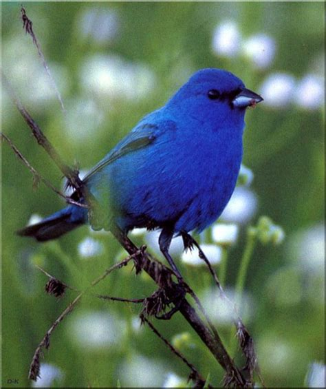 best ideas about indigo bunting bird bunting birds and