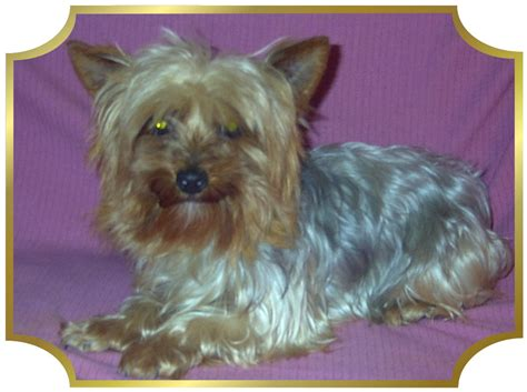 yorkie poodle rescue akc registered poodle puppies for sale akc yorkie poodle
