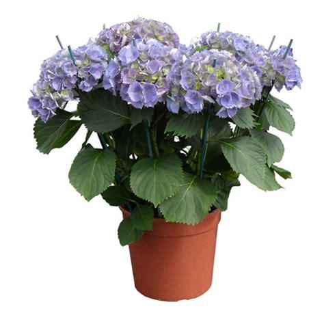 ortensia in vaso ortensia in vaso simple come coltivare ortensia in vaso