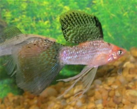 Best Seller Ikan Hias Orange Molly 1 sailfin guppytail molly aquarium fish veils and photos